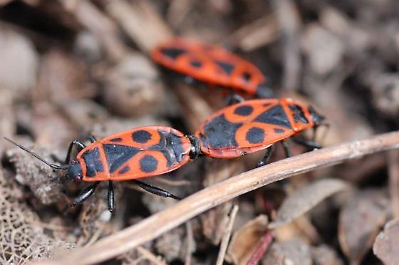 Pyrrhocoris apterus mating - Pyrrhocoris apterus - male - female