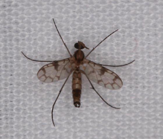 Keroplatidae - Proceroplatus - male
