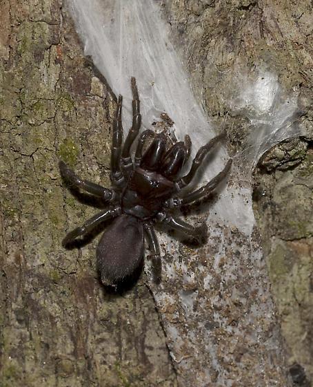 Purseweb Spider  - Sphodros rufipes - female