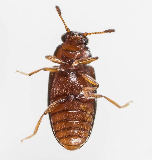 Beetle - Loberus impressus