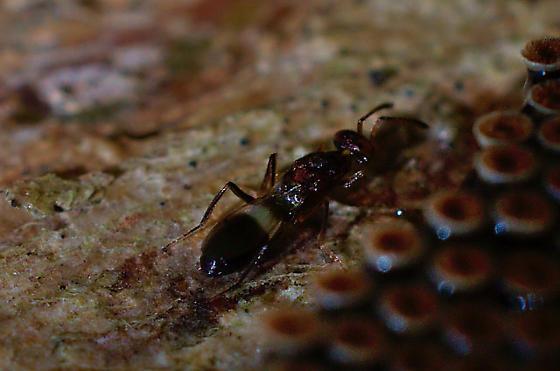Small wasps on Wheelbug eggs --  Anastatus semiflavidus?? - Anastatus