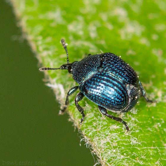 Metallic Blue Weevil - Thief Weevil - Pterocolus ovatus