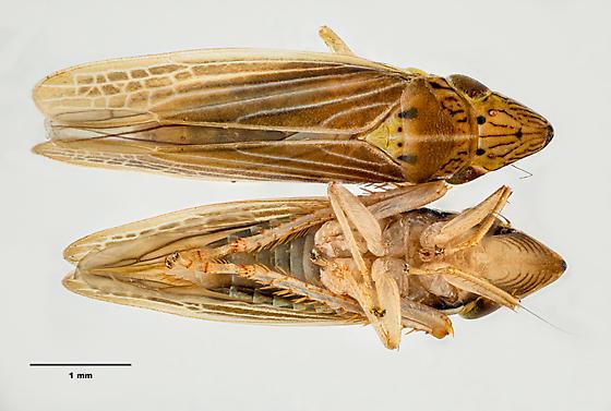 Hoppers - Draeculacephala septemguttata