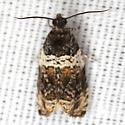 Tortricid Moth - Hodges #2823 - Olethreutes fasciatana