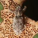 Another oak-munching weevil - Pandeleteius