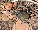 Unidentified Assassin/Squash Bug - Chelinidea vittiger