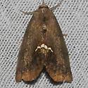 mall Necklace Moth - Hodges#8528 - Hypsoropha hormos