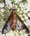 Deer fly - Chrysops - male