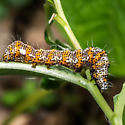 Langton's Forester Moth - Alypia langtoni