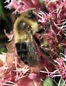Bumblebee - Bombus impatiens - male
