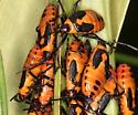 bugs 1 - Oncopeltus fasciatus
