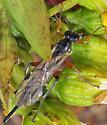 Late October Ichneumon - Pimpla - female