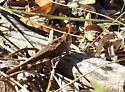 grasshopper - Arphia