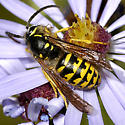 Yellowjacket  with hairy face - Dolichovespula arenaria - male