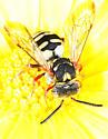 unidentified Nomadinae - Epeolus
