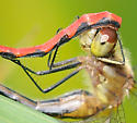 Crop 2 - Sympetrum obtrusum - male - female