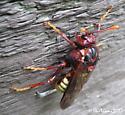 Pacific Sawfly (Cimbex pacifica) - Cimbex pacificus