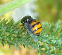 Small-headed Fly: orange and black - Acrocera