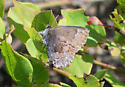 Frosted or Henry's Elfin? - Callophrys irus
