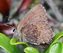 Elfin - Callophrys polios