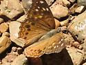 butterfly id help - Asterocampa celtis - female