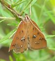 Moth unknown species - Diastictis argyralis