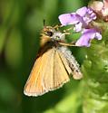 Garita Skipperling? individual #2 - Thymelicus lineola