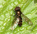 hover fly - Melangyna