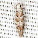 Chilcott's Coleotechnites Moth - Hodges #1799 - Exoteleia chillcotti