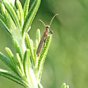 Bug - Oligotoma