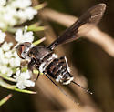 Bee Fly - Anthrax argyropygus