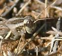 grasshopper, browns, grays - Melanoplus bispinosus - female