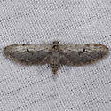 Eupithecia of some kind? - Eupithecia macdunnoughi