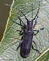 Longhorn Beetle - Saperda inornata