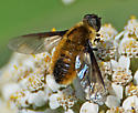 Hover Fly or Bee Fly - Villa