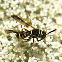 Leucospis - Leucospis affinis - female