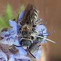 ID for two bees in Phacelia? - Dufourea