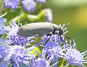 unknown beetle - Epicauta