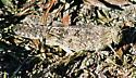 ??Grasshopper - Dissosteira carolina - female