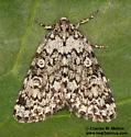 Cryphia olivacea 9287? - Cryphia