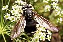 Fly - Spilomyia fusca