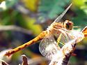 Autumn Meadowhawk - Sympetrum vicinum - female