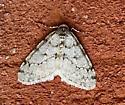 Phigalia denticulata - Phigalia strigataria - male