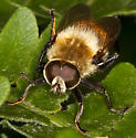 Bee fly? Robber fly? - Merodon equestris