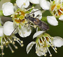 Beetle ID - Molorchus bimaculatus