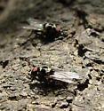 Root Maggot Fly - Anthomyia procellaris
