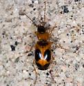 Beetle - Badister neopulchellus
