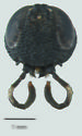 Orussus minutus - female