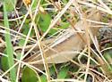 Mischievous grasshopper - Schistocerca damnifica