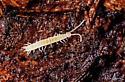 Myriapode. Scutigerellidae. Symphila?